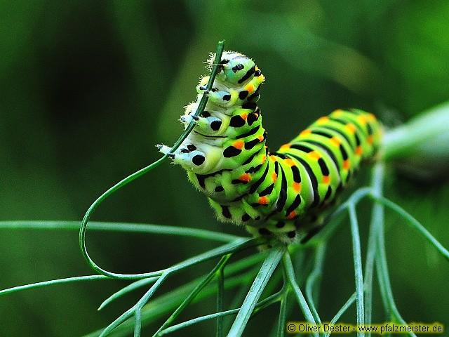 Schwalbenschwanz Raupe (Papilio machaon)