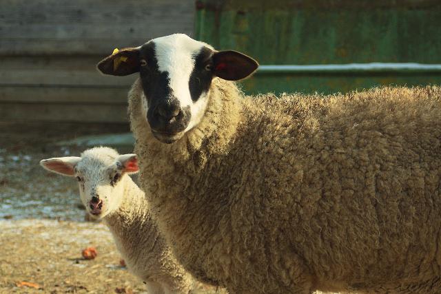 Schaf und Schäfchen