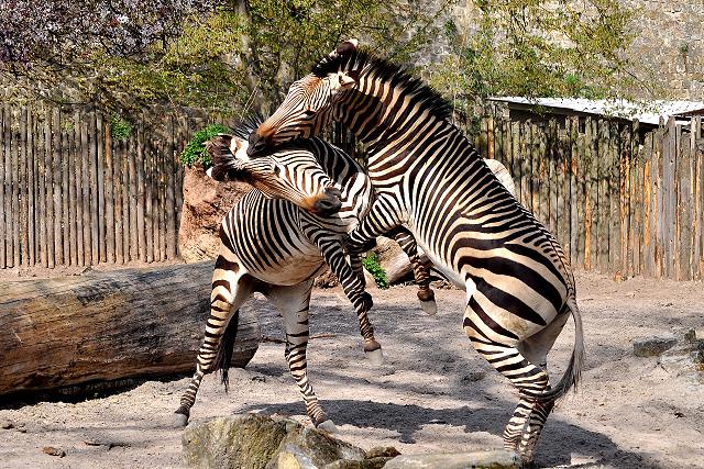 Zoo Landau - Zebra
